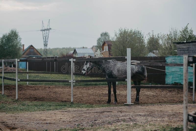 Koń na spacerze w padoku Ko? i natura zdjęcie stock