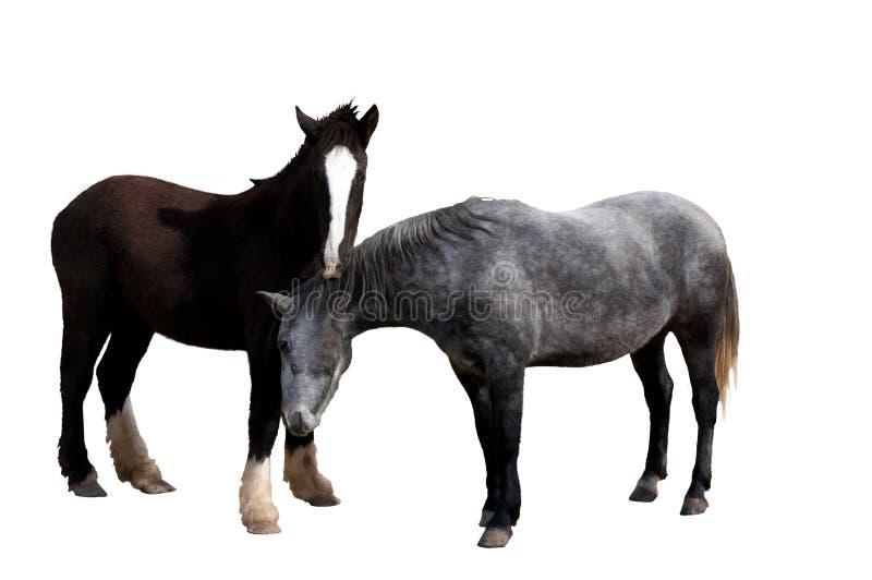 koń odizolowywająca para fotografia royalty free