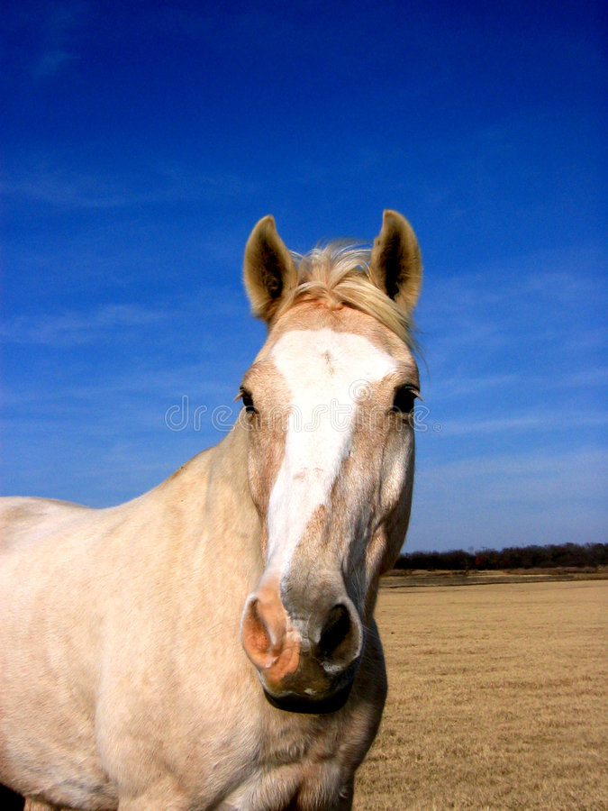 koń palomino fotografia stock