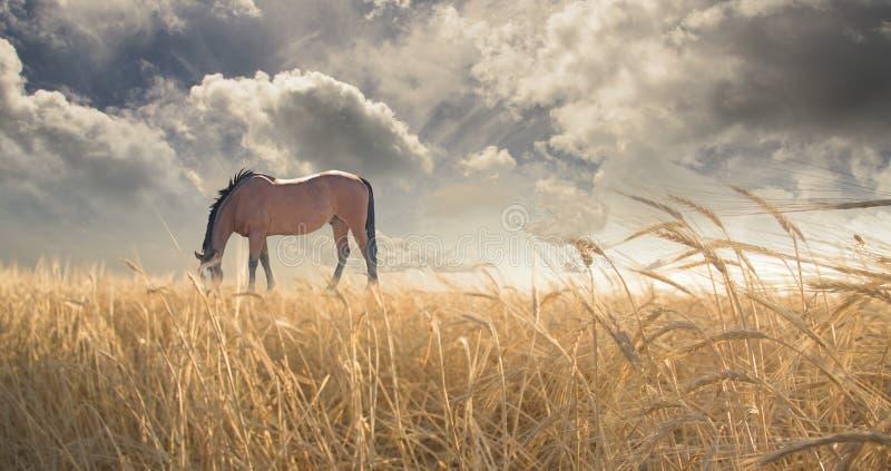 koń pastwiskowy pola zdjęcie stock