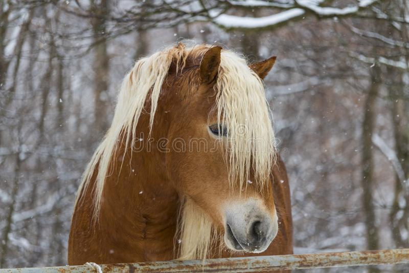 Koń pod śniegiem zdjęcia stock