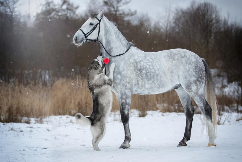 Koń prowadzi psa uzdą Orlovskiy kłusak i Alaski fotografia stock