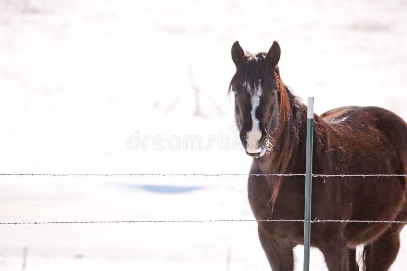 Koń w śnieżnym paśniku zdjęcie royalty free