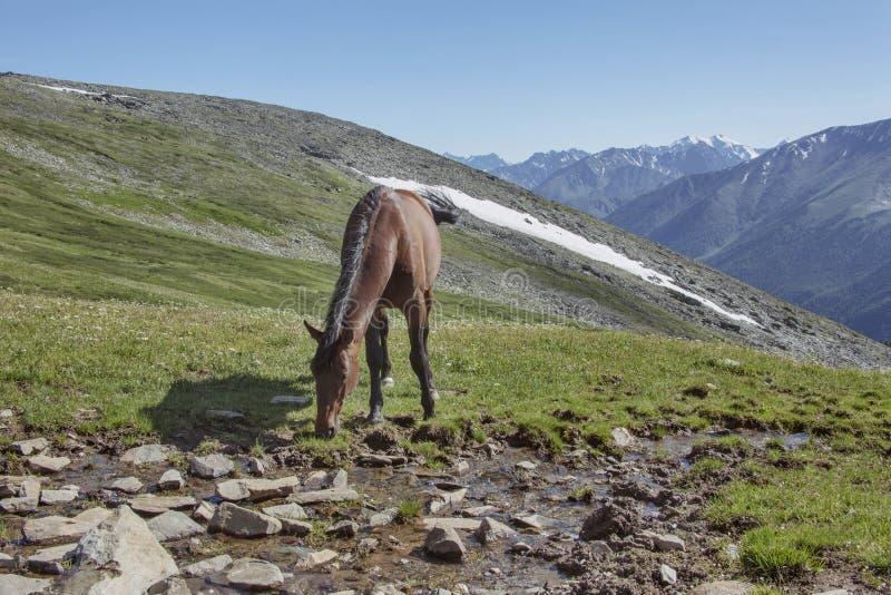 Koń w Altai górach Rosjanina krajobraz zdjęcia royalty free