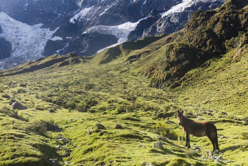 Koń w górach na Salkantay śladzie zdjęcia stock