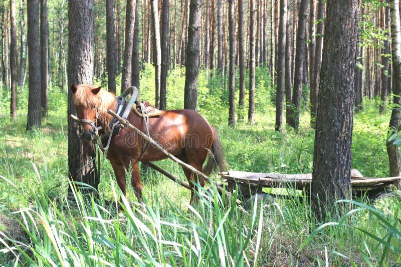 Koń w lesie obraz stock
