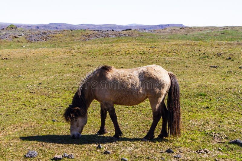 Koń w paśniku w Iceland zakończeniu obraz stock
