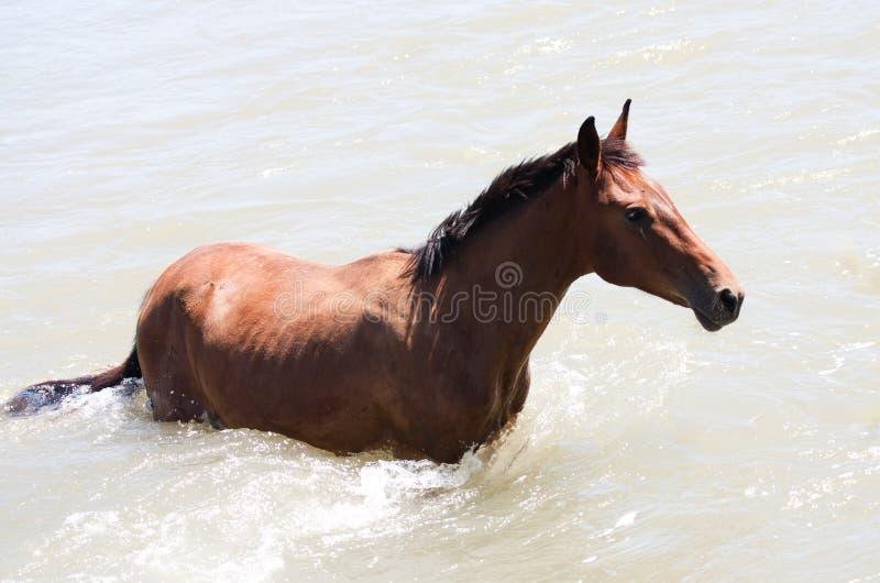 Koń w rzece obrazy stock