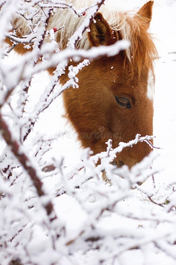 Koń w zimie obraz stock