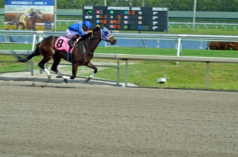 Koń wyścigowy w Pełnym cwale na Nim ` s sposób zwycięstwo zdjęcie royalty free