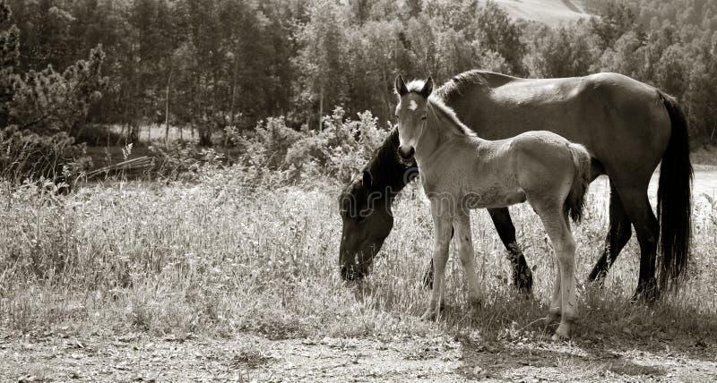 Koń z źrebięciem na łące zdjęcia royalty free