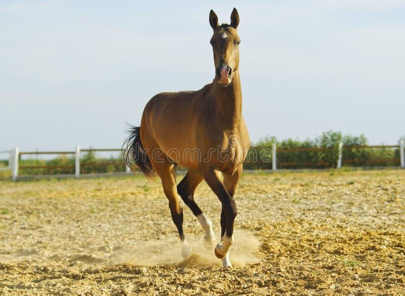 koń z krótką grzywą i białym blaskiem na jego głowie biega zdjęcia royalty free