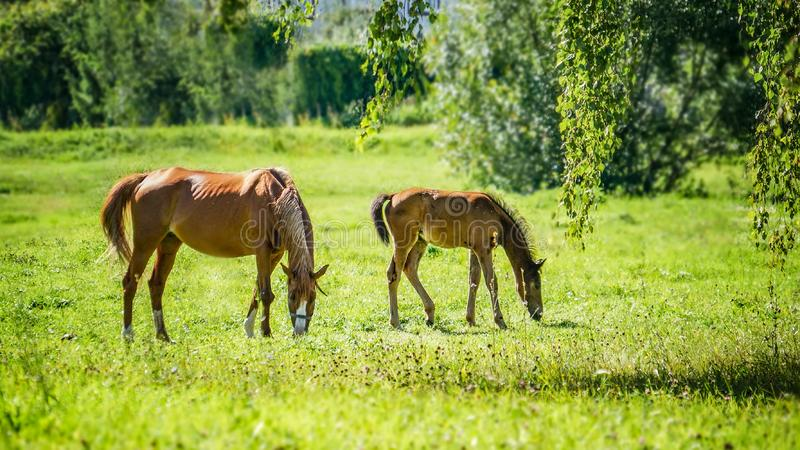 Koń z nowonarodzonym źrebięciem pasa w łące w Pogodnej pogodzie obrazy stock