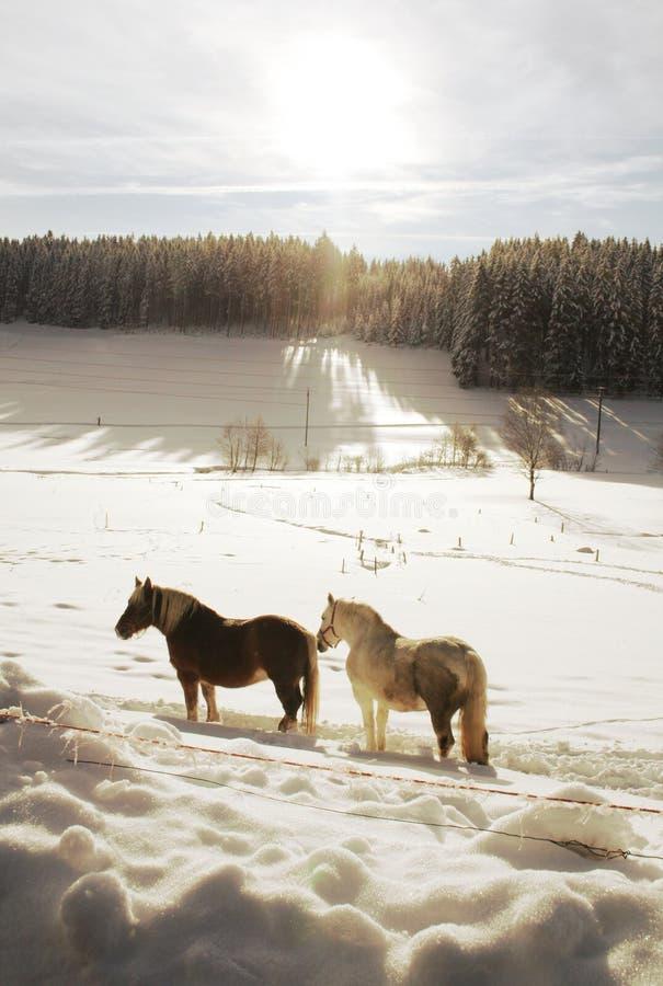 koń zima zdjęcie royalty free