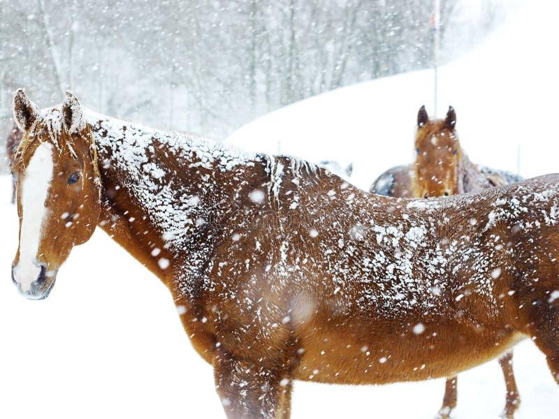 Koń zimy śnieg obraz stock