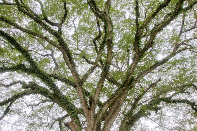 kończyny drzewne obraz stock