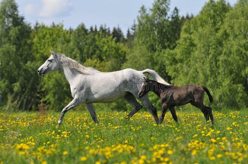 końska źrebię łąka kłusuje biały whith obraz stock