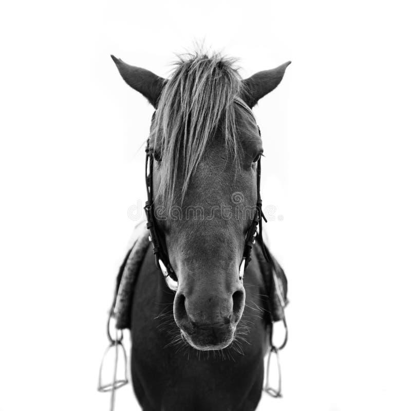 Końska głowa obrazy stock