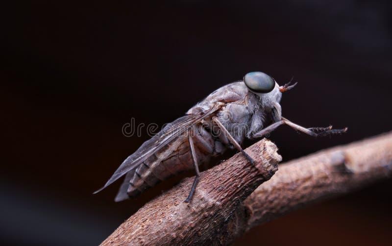 Końska komarnica zdjęcie royalty free