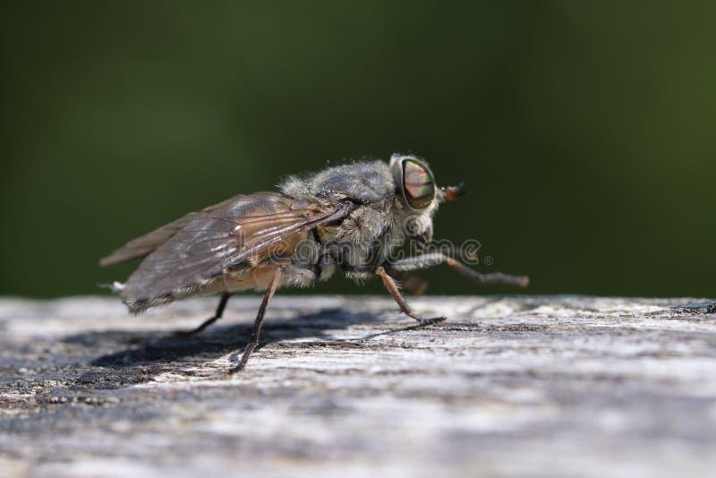 Końska komarnica w makro- strzale zdjęcie royalty free