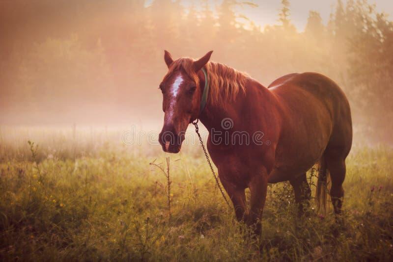 Końska paśnika ranku mgły rosa zdjęcie stock