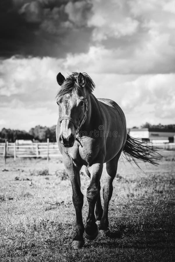Końska pozycja na łące, na gospodarstwie rolnym w słonecznym dniu czarny white zdjęcie stock