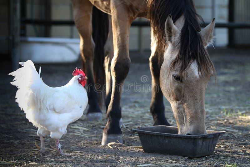 Koński łasowanie z kurczaka watchng zdjęcia royalty free