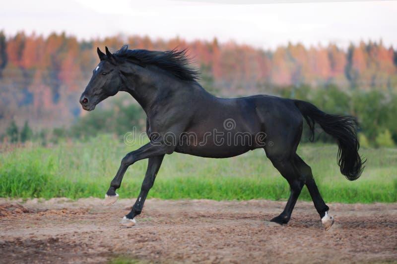 Koński bieg na pogodnej łące na zmierzchu świetle fotografia royalty free