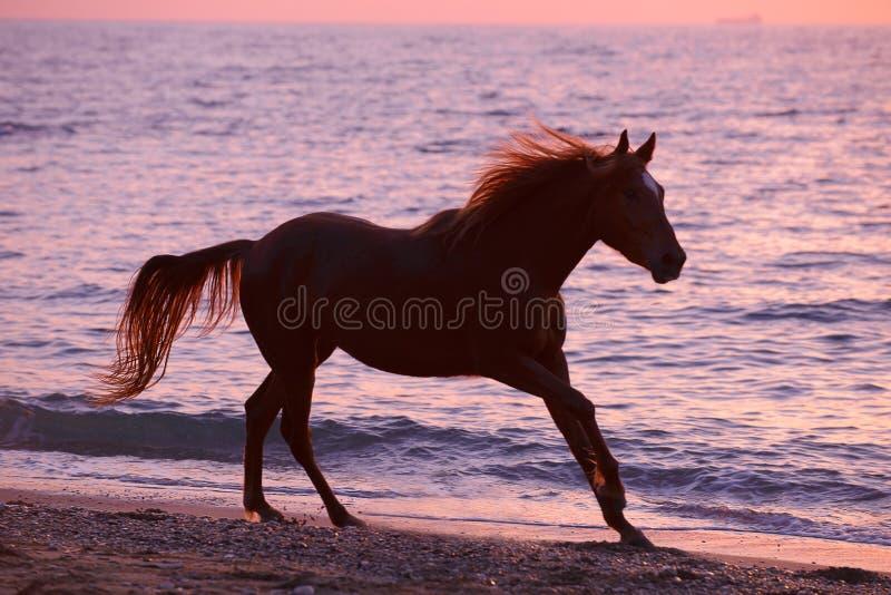 Koński bieg przez wody obrazy royalty free