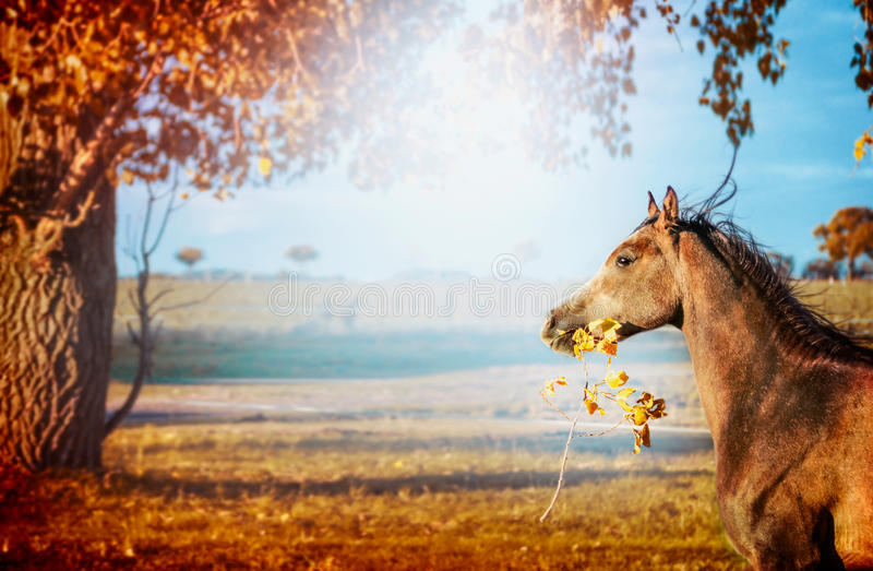 Koński bieg z, utrzymania w usta z liśćmi na pięknym jesieni natury tle i gałąź zdjęcie stock