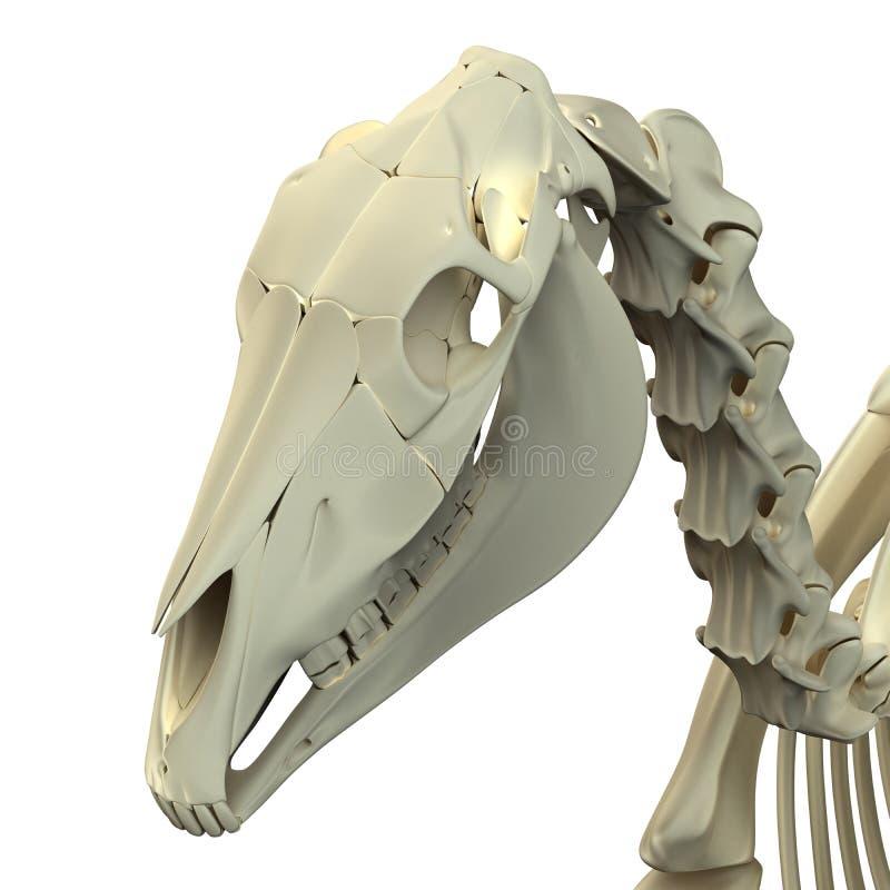 Koński czaszki Cranium odizolowywający na bielu - Końska Equus anatomia - ilustracja wektor