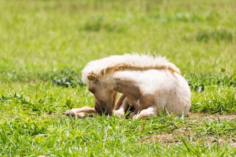 Koński dosypianie zdjęcia stock