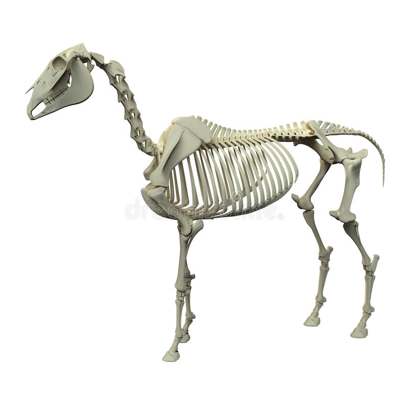 Koński kościec boczny widok odizolowywający na whi - Końska Equus anatomia - royalty ilustracja