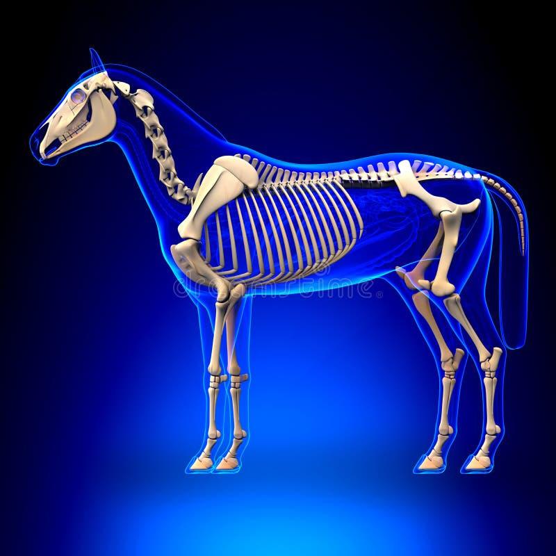 Koński kościec na błękitnym tle - Końska Equus anatomia - ilustracji
