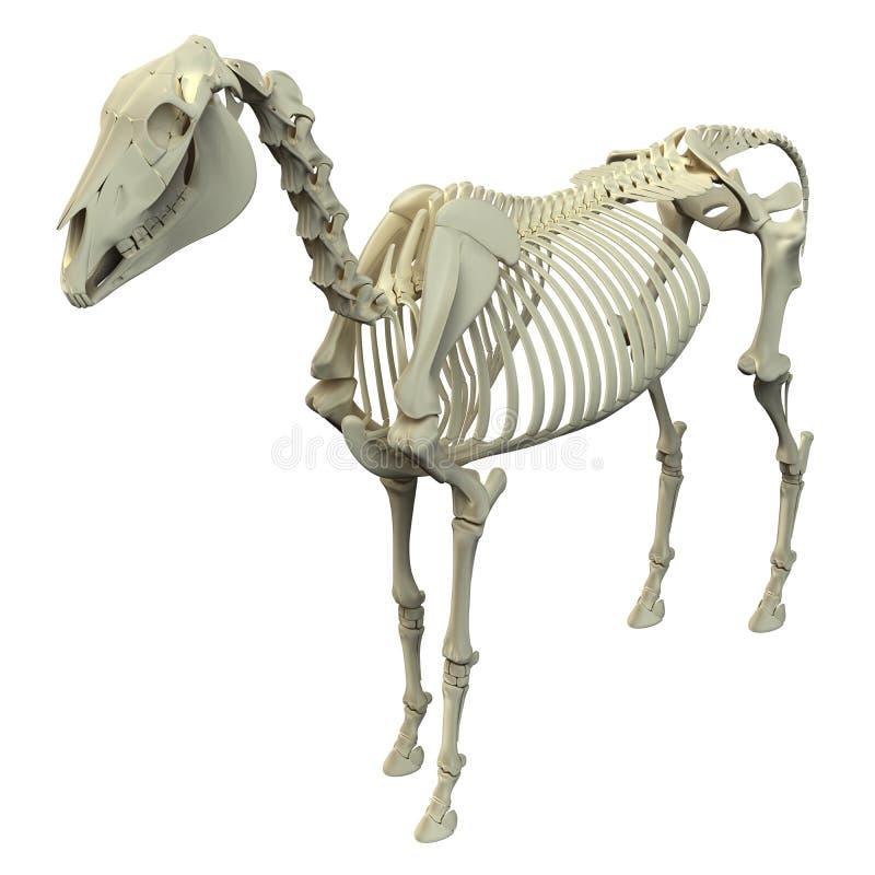Koński kościec odizolowywający na bielu - Końska Equus anatomia - ilustracji