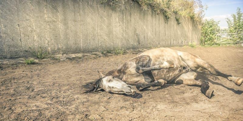 Koński lying on the beach w jarda piasku, tonującym obrazy royalty free