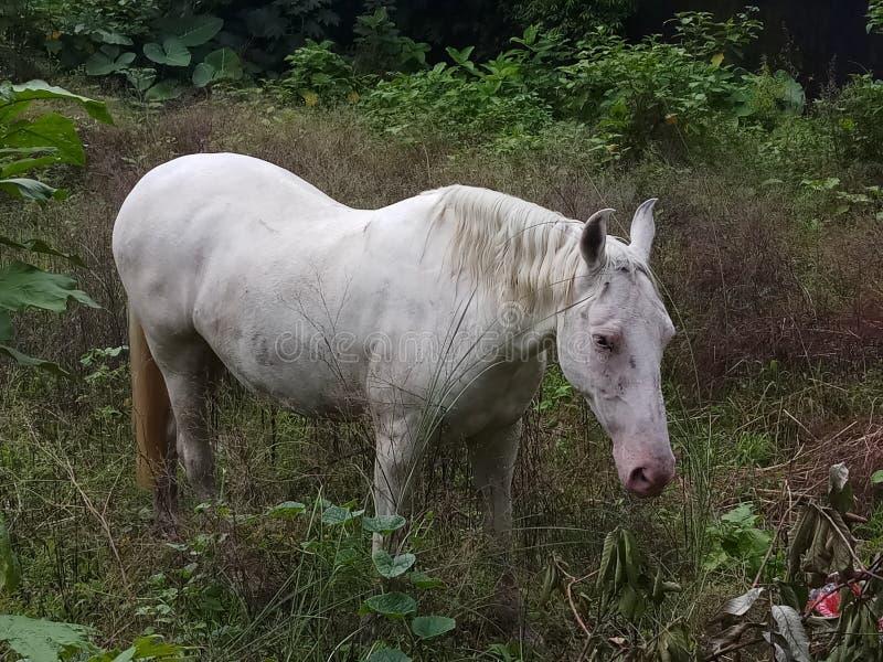Koński odprowadzenie w pustej ziemi w poszukiwaniu jedzenia fotografia stock