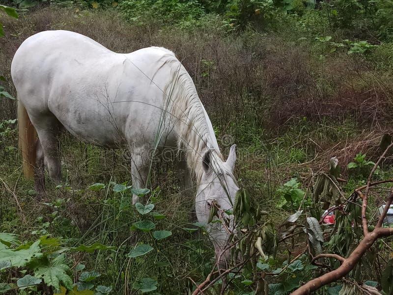 Koński odprowadzenie w pustej ziemi w poszukiwaniu jedzenia zdjęcie stock