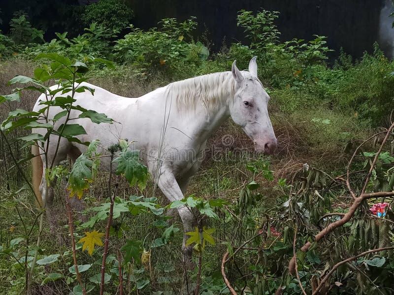 Koński odprowadzenie w pustej ziemi w poszukiwaniu jedzenia obrazy royalty free