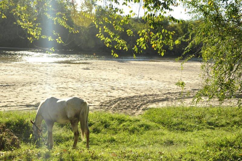 Koński pasanie blisko rzeki zdjęcia royalty free