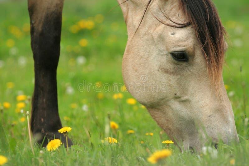 Koński pasanie na trawie obrazy royalty free