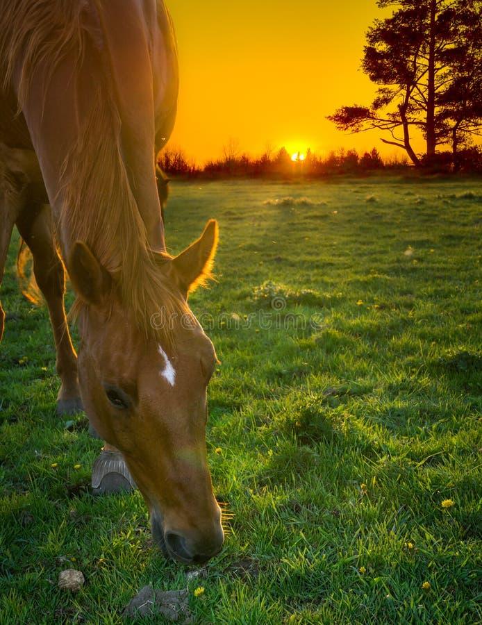 Koński pasanie przy zmierzchem obrazy royalty free