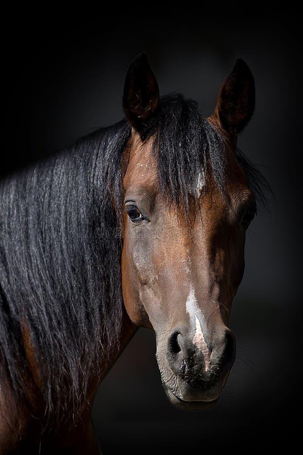 Koński portret na ciemnym tle zdjęcie stock