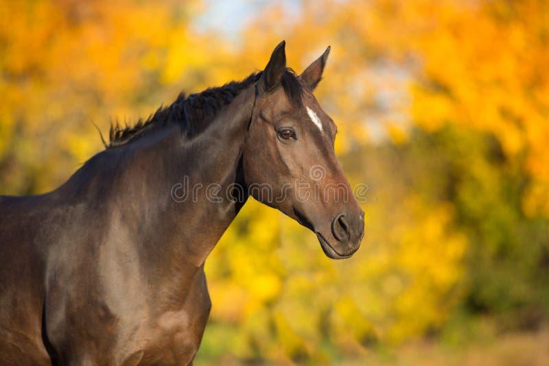 Koński portret przeciw pomarańcze i koloru żółtego liściom zdjęcie stock