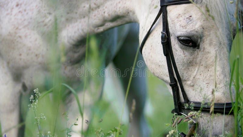 Koński portret Smutni oczy pastwiskowy biały koń obrazy royalty free