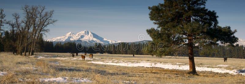 Rancho bydlę przy bazą Trzy siostry góry Oregon fotografia royalty free