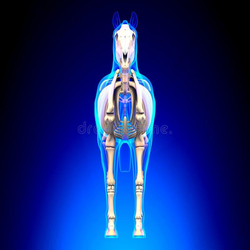 Koński Zredukowany Frontowy widok na błękitnym backgr - Końska Equus anatomia - royalty ilustracja