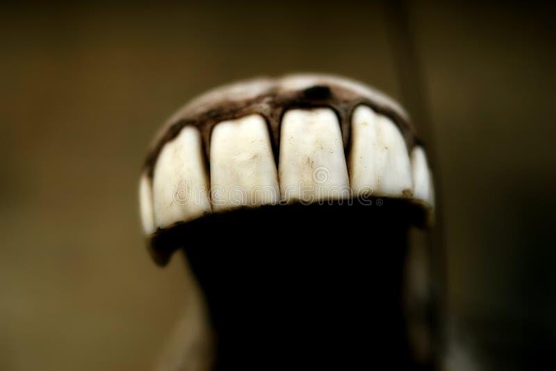 końskich zębów obrazy royalty free