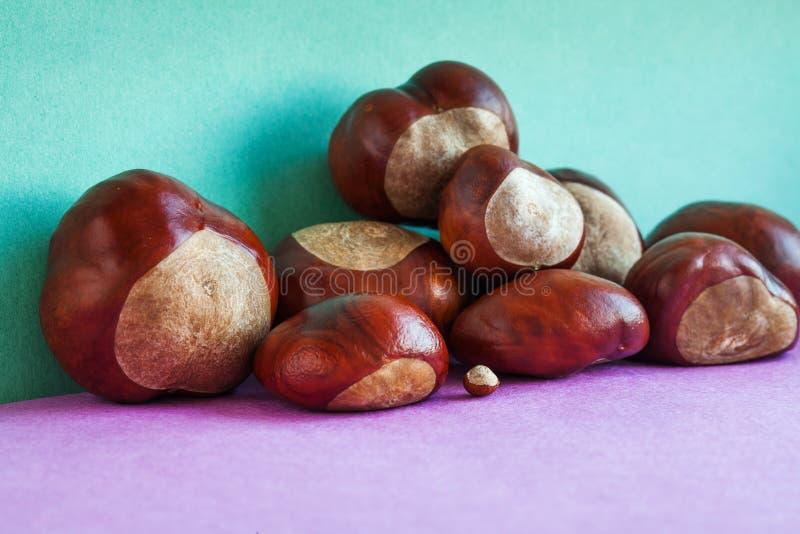 Końskiego kasztanu ziarna na purpury zieleni tle Jesieni artystyczny życie z Aesculus hippocastanumon dojrzałym Buckeye wciąż zdjęcie stock