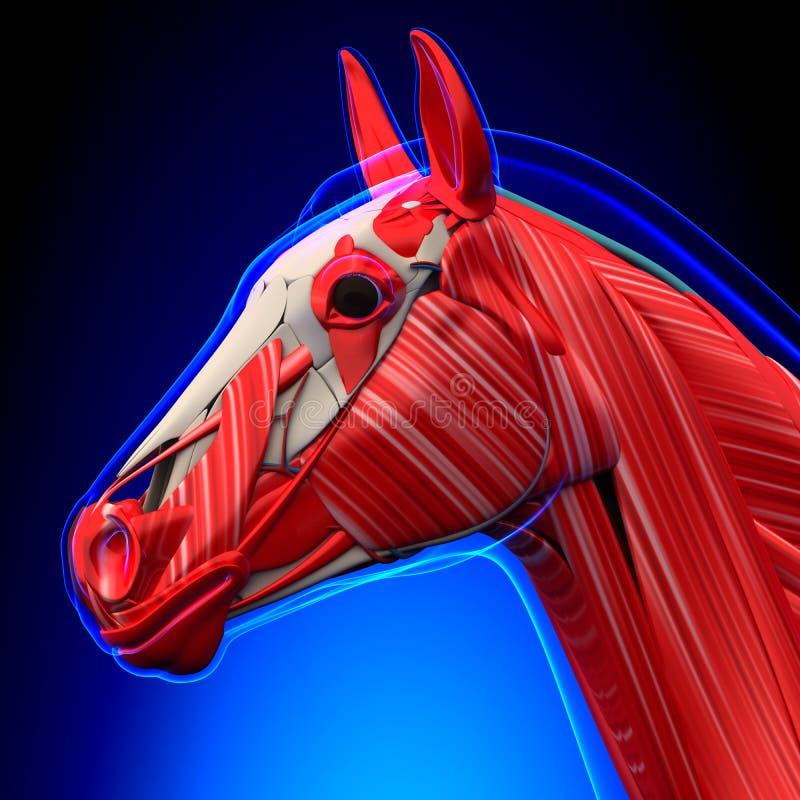Końskiej głowy mięśnie na błękitnym tle - Końska Equus anatomia - royalty ilustracja